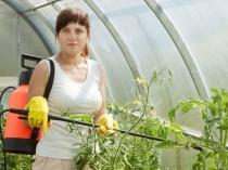 Опрыскивание растений от белокрылки в теплице