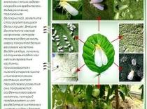 Рекомендации по определению поражения тепличных растений белокрылкой