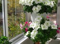 Зимний сад на утепленной лоджии