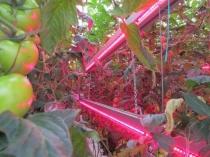 Подвешивание ламп между рядами растений в освещении теплицы