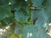 Опрыскивание бордосской смесью от фитофторы винограда в теплице