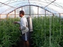 Опрыскивание средством от фитофторы тепличных растений