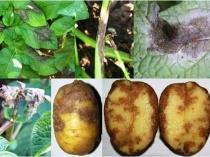 Поражение клубней и листьев тепличного картофеля фитофторой