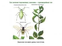 Тепличный вредитель зеленая персиковая тля