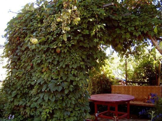Оформление беседки виноградными лозами