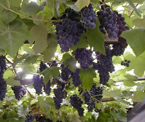 Морозоустойчивый виноград для беседки