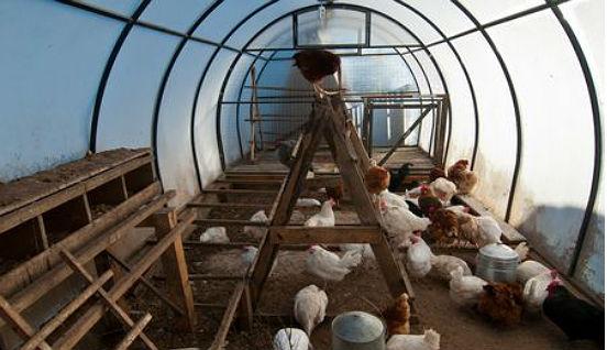 Устройство птичника общем помещении теплицы